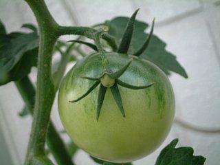 トマトの赤ちゃん