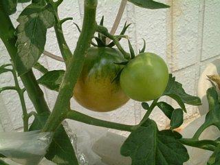 色づきトマト