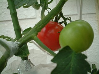 赤く色づくトマト